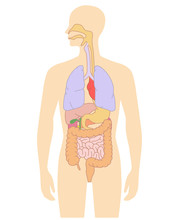 Human Body Internal Organs Ill...