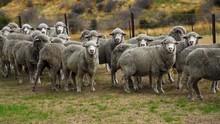 A Herd Of Sheeps Walking Along...