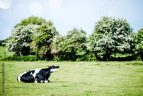 vache se reposant dans la pâture Fotobehang