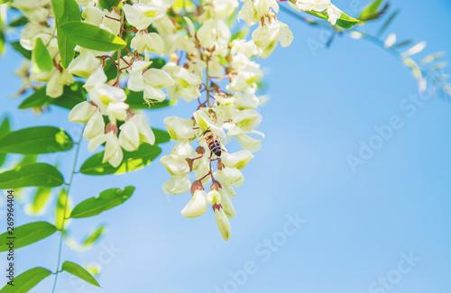 Photo Flowering acacia tree in the garden. Selective focus.