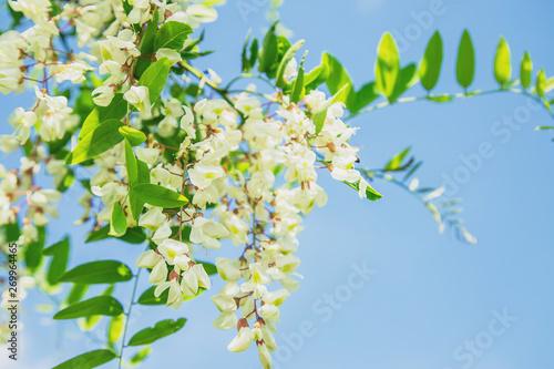 Flowering acacia tree in the garden. Selective focus. Wallpaper Mural