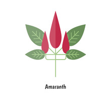 Amaranthus Or Amaranth.