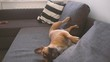 Small French Bulldog have a nice time at home on sofa