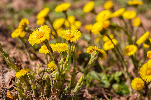 Fényképezés coltsfoot foalfoot selective focus close-up, horizontal photo of yellow coltsfoo