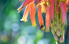 An African Honeybee Isolated P...