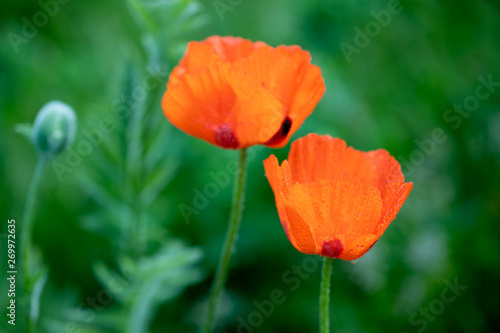 Fresh beautiful red poppies on green field.