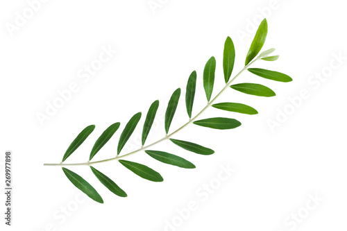 Fotografía  olive branch