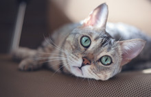 Beautiful Gray Bengal Cat With Bright Green Eyes, Sitting On The Couch