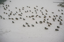 Angry Hungry Ducks In Winter