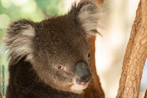 Canvas Prints Koala Cute Australian Koala resting during the day.