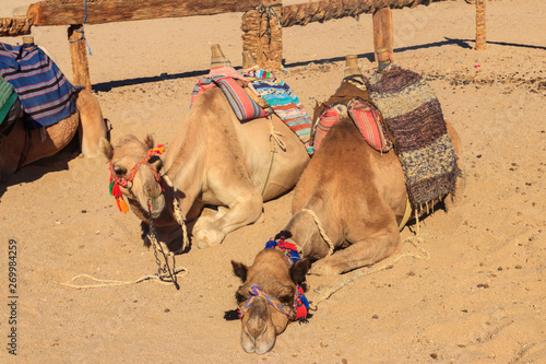 Camels with traditional bedouin saddle in Arabian desert, Egypt
