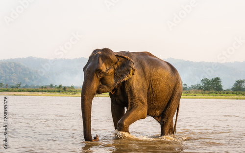 Elephant walking out of the Gandak river after his bath, in Chitwan National Park, Nepal