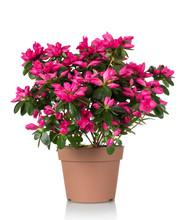 Azalea Flower Is In The Pot. B...