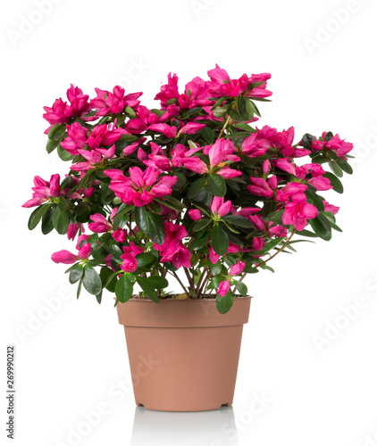 Spoed Foto op Canvas Azalea Azalea flower is in the pot. Bright beautiful pink flowers isolated on white