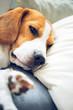 Beagle dog sleeping on a pillow on a sofa