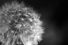 Black And White Dandelion Clos...