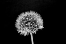 Black And White Dandelion Close-up. Dandelion Fluff. Conceptual Photo For Project