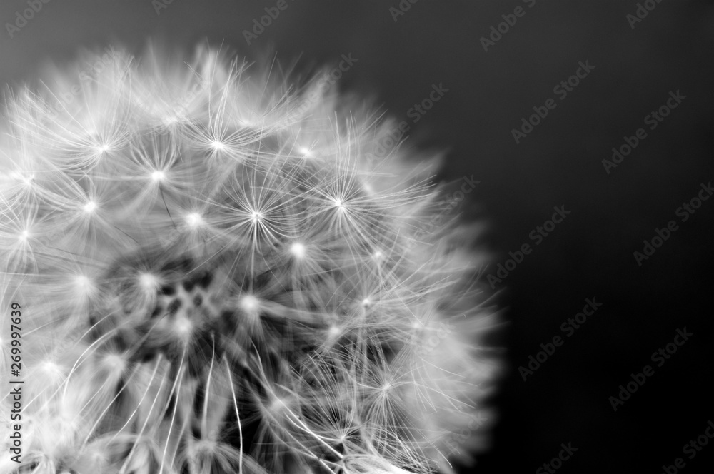 Fototapety, obrazy: Black and white dandelion close-up. Dandelion fluff. Conceptual photo for project