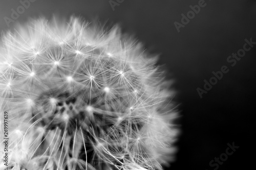 Spoed Foto op Canvas Paardenbloem Black and white dandelion close-up. Dandelion fluff. Conceptual photo for project