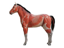 3d Rendered Medically Accurate Illustration Of The Horse Anatomy - Muscle System