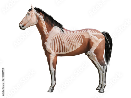 Fototapeta 3d rendered medically accurate illustration of the horse anatomy - skeleton obraz