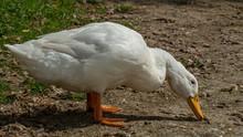 Large White Aylesbury, Pekin, Peking Duck, Close Up, Water Level View