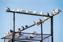Decorative Domestic Doves In Dovecote