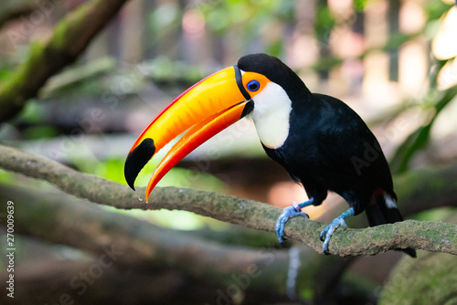 Toucan on a branch with its beak open Canvas Print