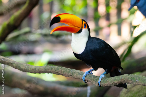 Tuinposter Toekan Toucan on a branch with its beak open, head raised up