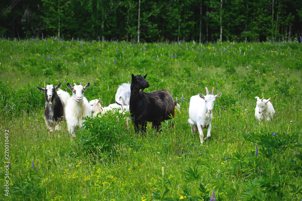 A herd of sheep grazing in a meadow, eating grass and plants.