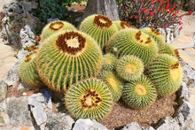 Large Golden Barrel Cactus Growing In The Exotic Garden