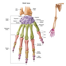 Bones Of The Human Hand With The Name And Description Of All Sites. Human Anatomy. Vector Illustration Isolated On A White Background.