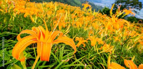 Fotografie, Obraz Beautiful orange daylily flower farm on Sixty Rock Mountain (Liushidan mountain)