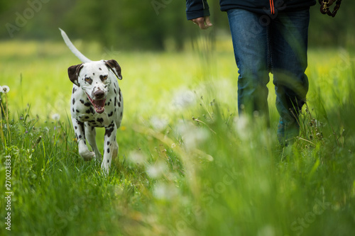 Dog owner with adult dalmatian dog in spring landscape