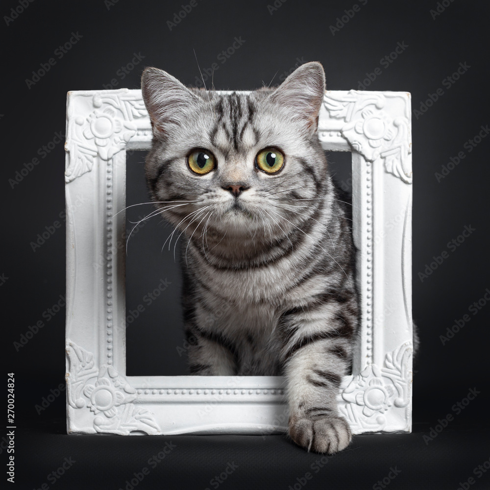 Fototapety, obrazy: Sweet black silver tabby British Shorthair kitten, steppeing through white image frame Looking straight at camera with big round yellow / green eyes. Isolated on black background.