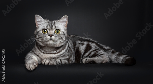 Sweet Black Silver Tabby British Shorthair Kitten Laying Down Side Ways Looking To Camera With Big Round Yellow Green Eyes Isolated On Black Background Buy This Stock Photo And Explore