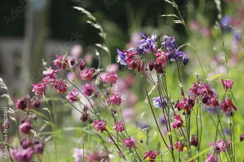 Foto Close up von bunter Akelei in lila, blau und weiß auf einer Wildblumenwiese