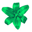 canvas print picture - flower  green  lily isolated on white background with clipping path. Close-up. Nature.