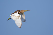 Image Of A Pond Heron(Ardeola) Flying In The Sky. Wild Animals.