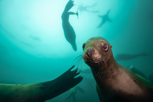 Steller Sea Lion Underwater Ne...