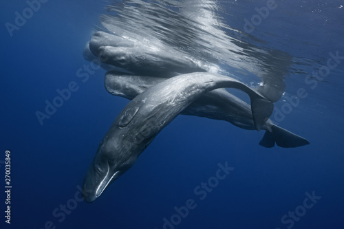 Sperm whales pod near Azores islands