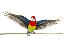 Rosella Parrot With Spread Wings