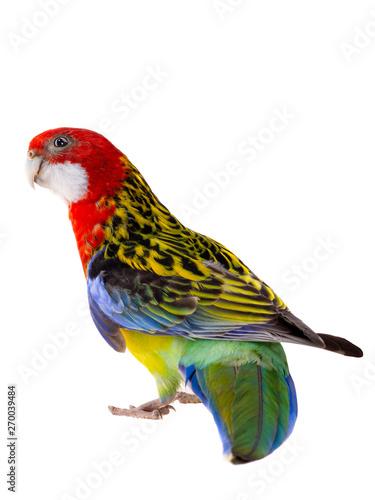 Foto op Aluminium Papegaai Rosella parrot isolated