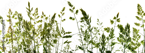 Fotografia green flowering grass - shape isolated on a white background