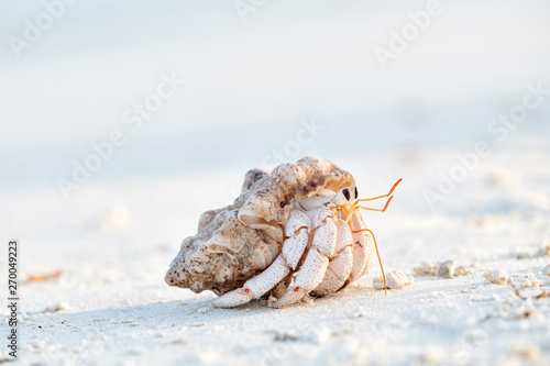 Hermit Crab on a beach Canvas Print