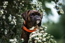 German Boxer Dog Portrait Outdoors In Summer