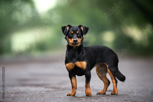 Foto  mixed breed dog standing on the road
