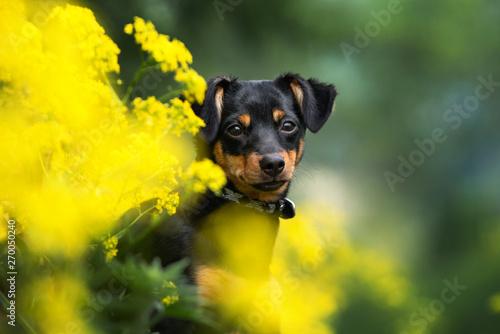 Obraz na płótnie mixed breed dog portrait in yellow flowers outdoors