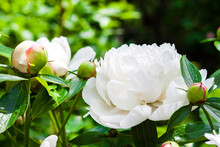 Close-up Of White Peony On Green Background