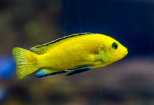 Closeup Of A Lemon Yellow Lab Cichlid, A Very Popular Fish In Aquaculture, Tropical Freshwater Fish From Lake Malawi In Africa